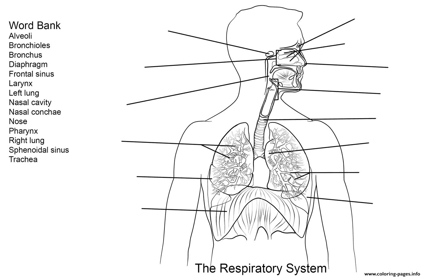 Respiratory System Worksheet Coloring Pages Printable
