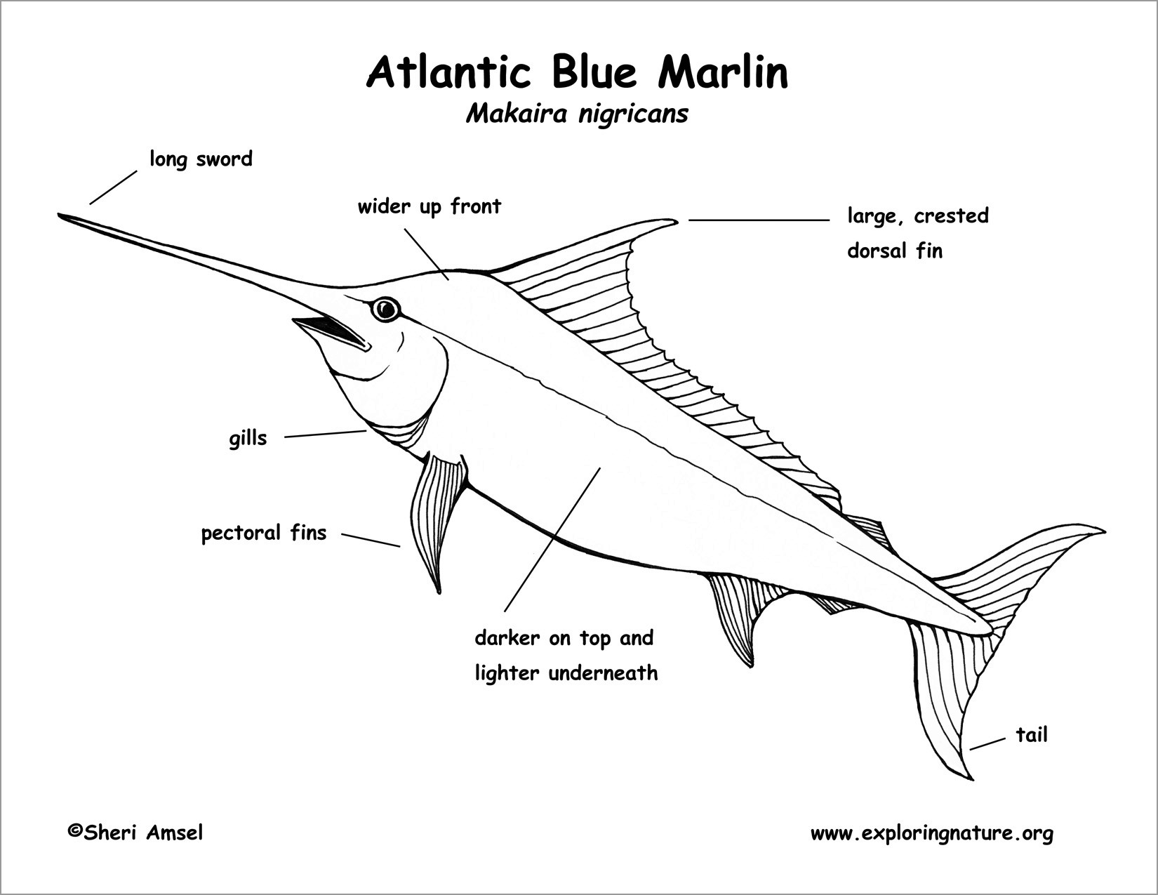 Marlin Coloring Pages