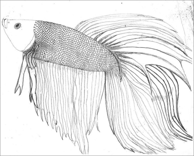 Realistic Betta Fish Coloring Page - ColoringBay
