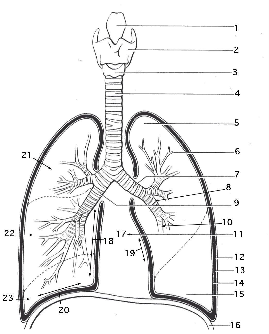 Lungs Respiratory System Coloring Page Work Sheet For Kids