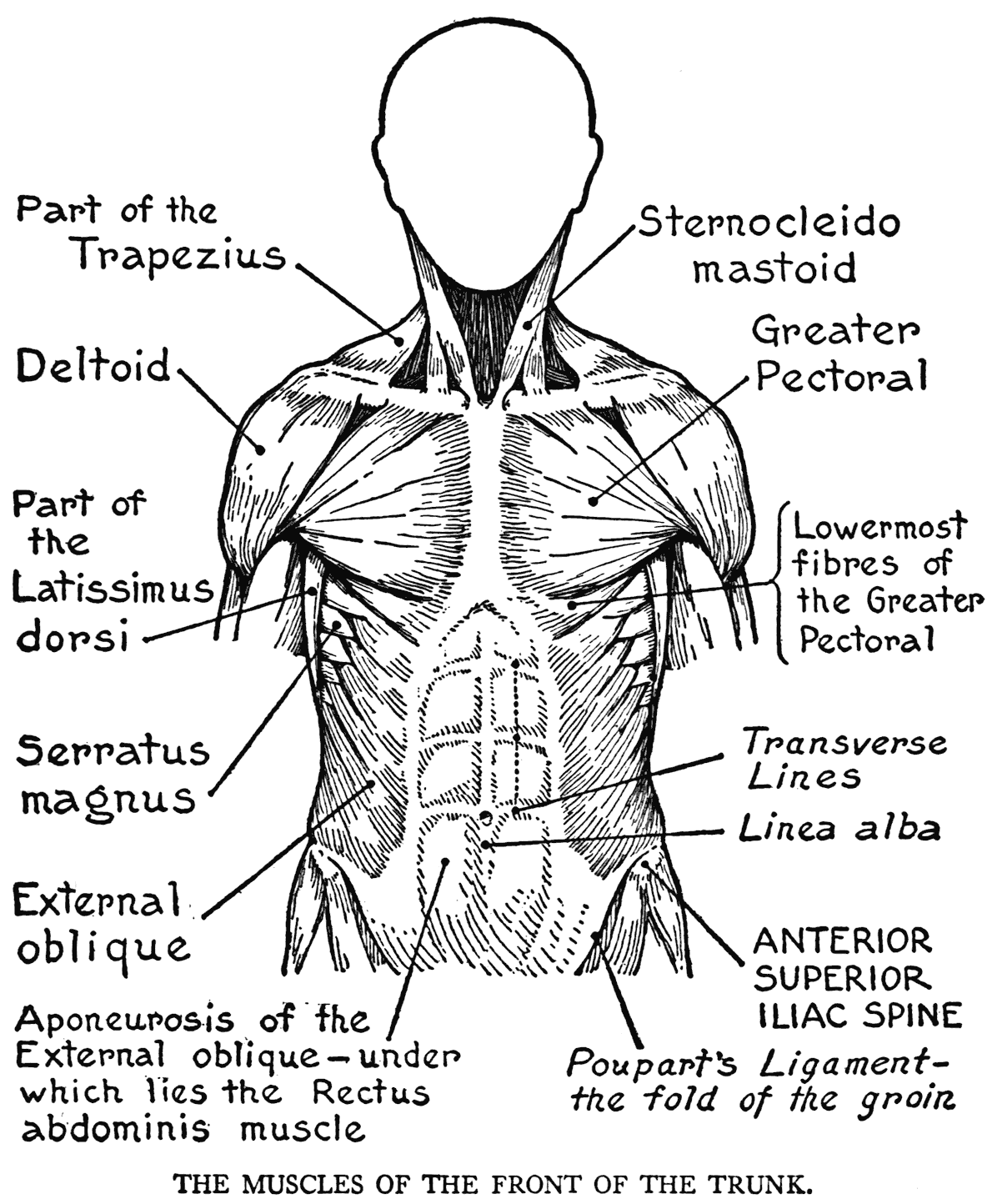 Anterior Body Regions Worksheet