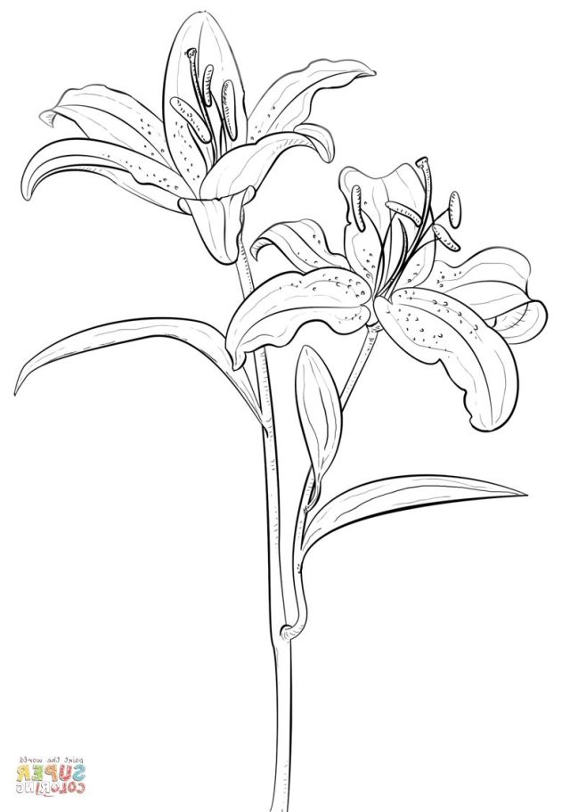 Lily Coloring BL25T Tiger Lily Coloring Page  Free Printable