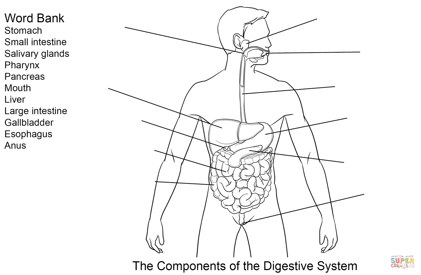 Coloring Pages Of Digestive System