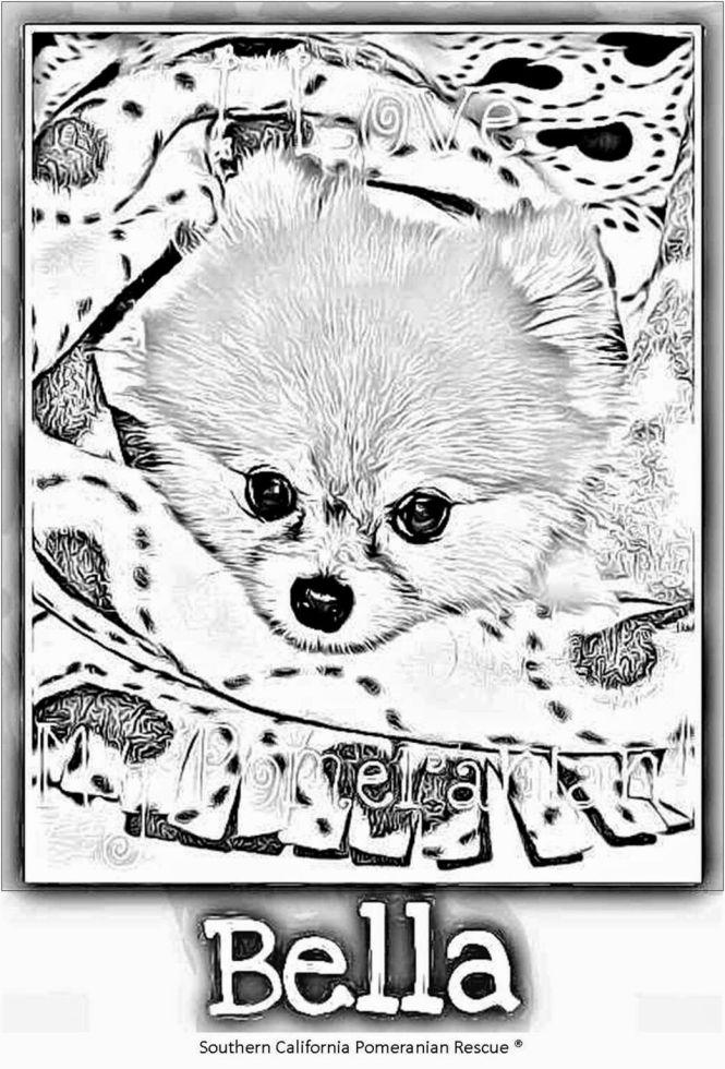 Socalpomrescue Scpr Bella Pomeranian The 800 Petmeds Dog