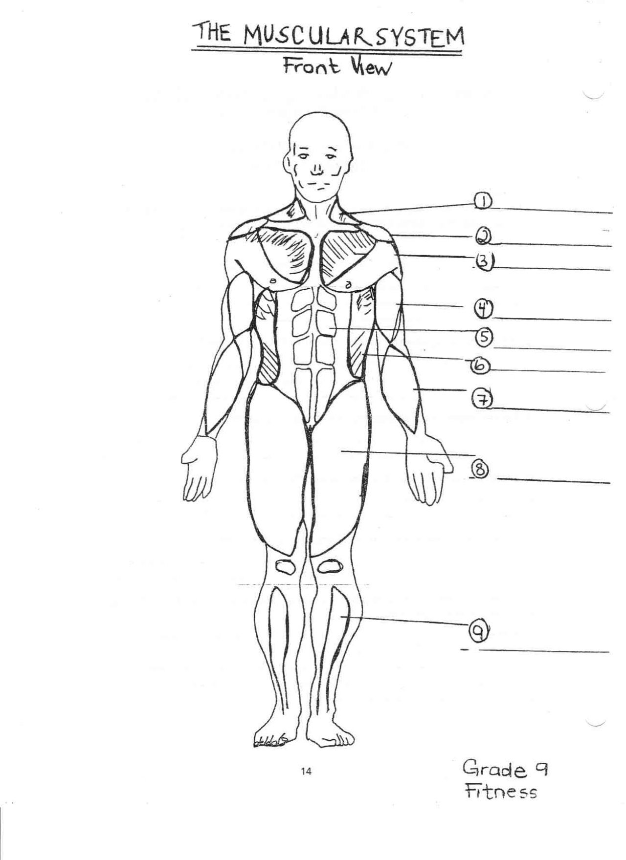 Muscular System For Coloring Pinterest