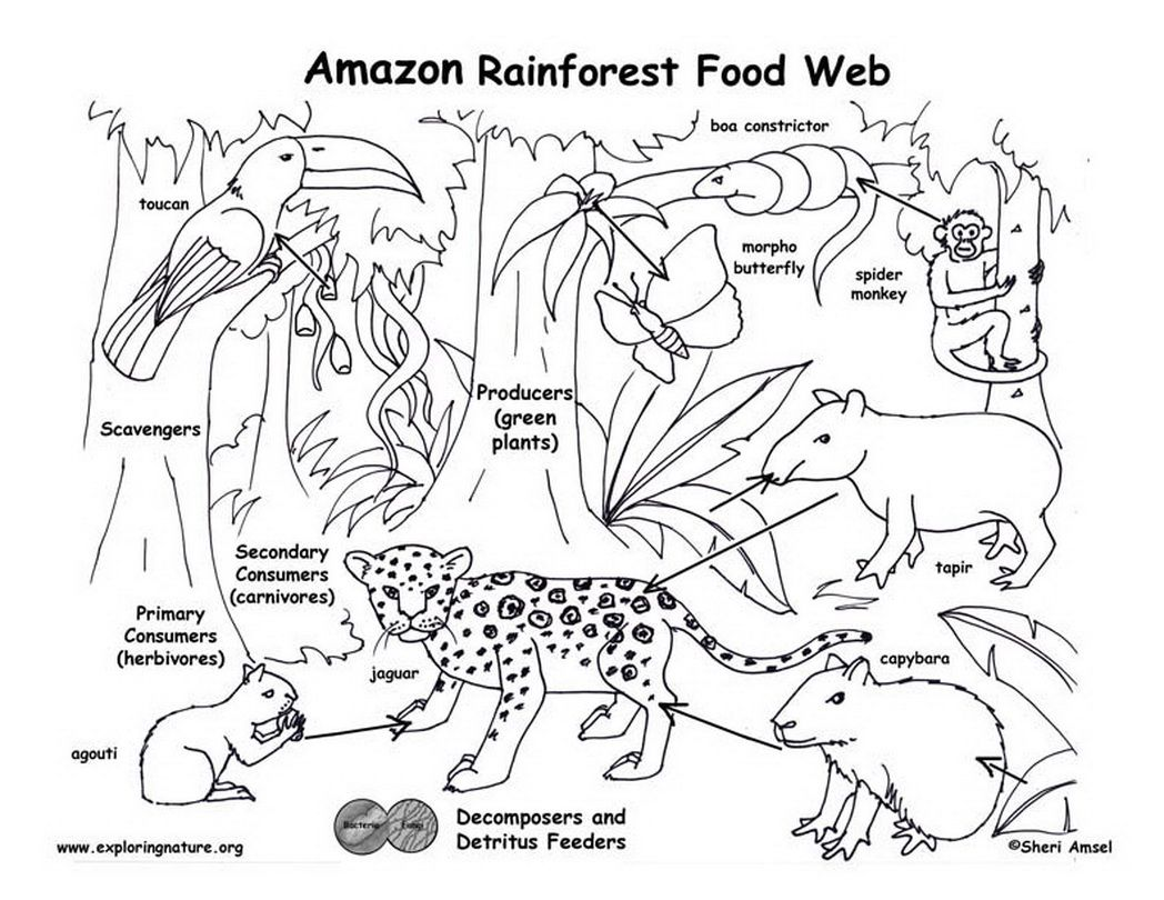 Amazon Rainforest Food Web Exploring Nature Educational Resource