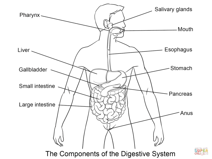 Coloring Pages Of Digestive System - Coloring Home