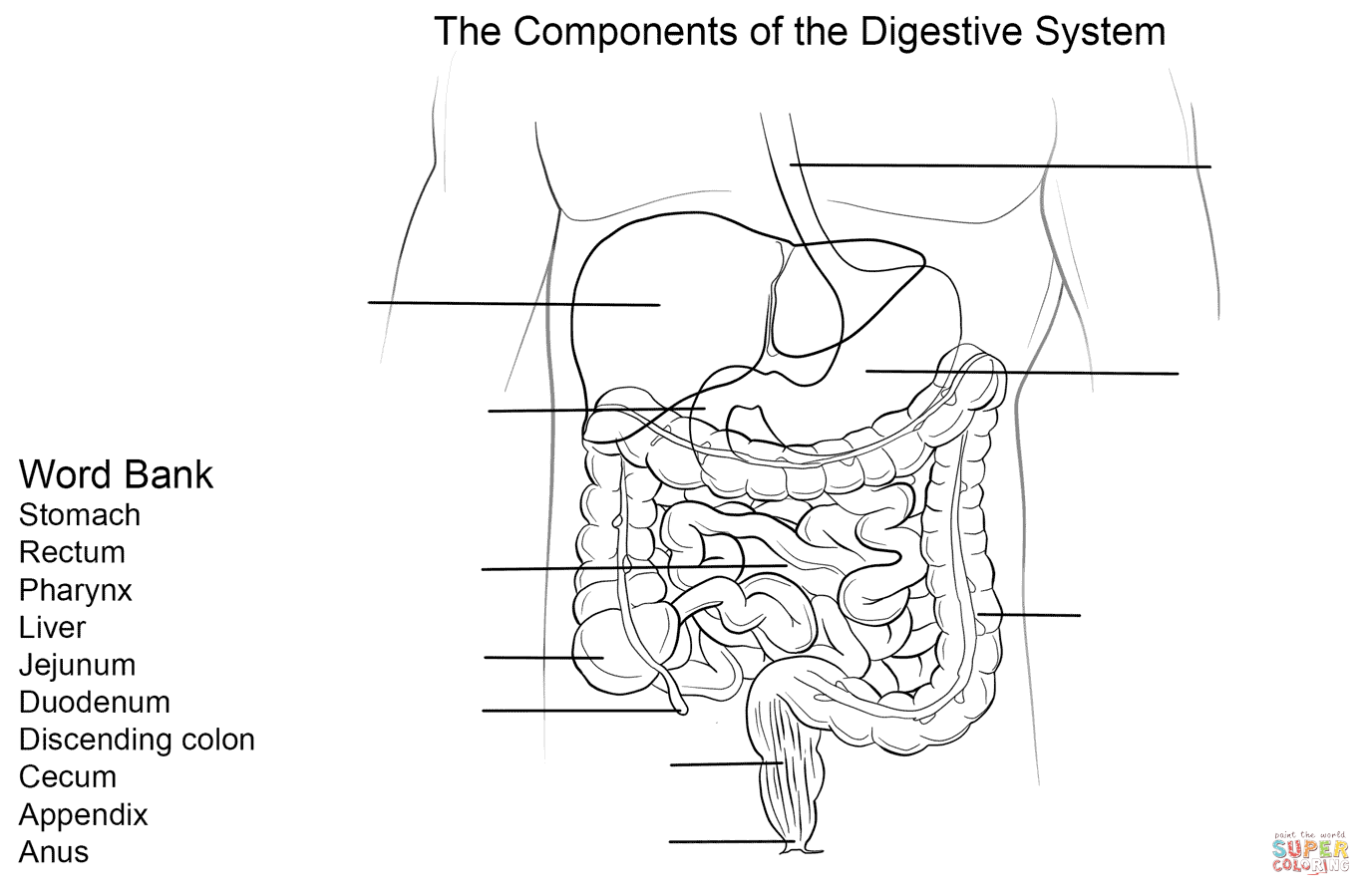 Digestive System Worksheet Coloring Page