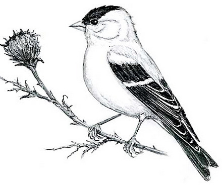 american-goldfinch-coloring-picture