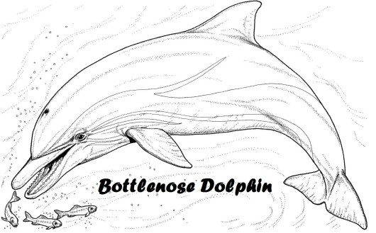 Bottlenose dolphin coloring pages coloring pages for Bottlenose dolphin coloring page