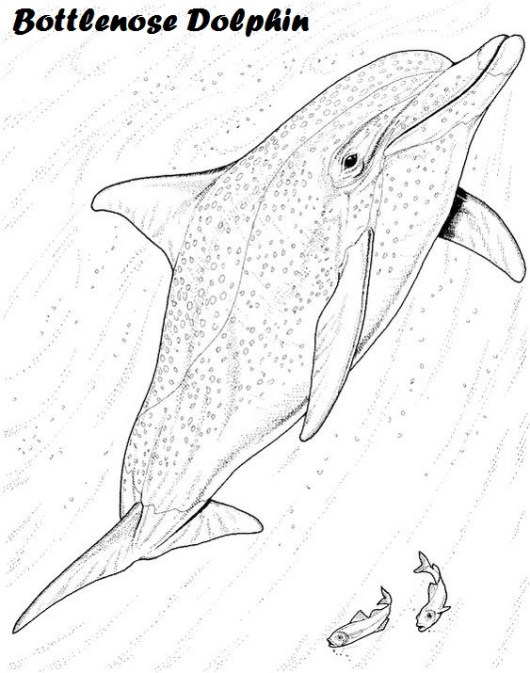 bottlenose-dolphin-coloring-book