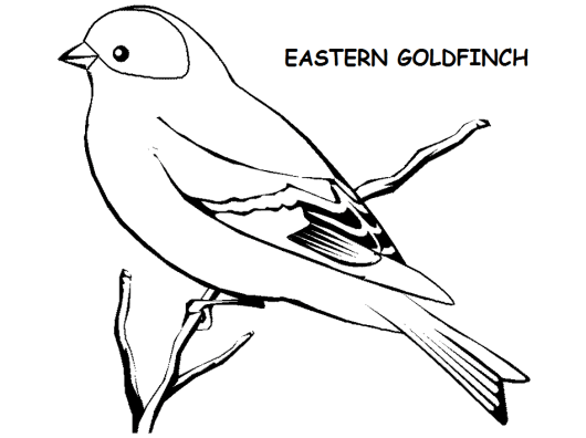 eastern-american-goldfinch-drawing