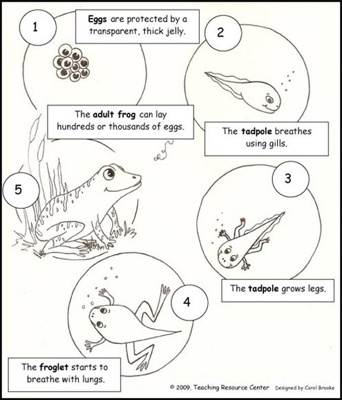 frog-life-cycle-coloring-page-printable