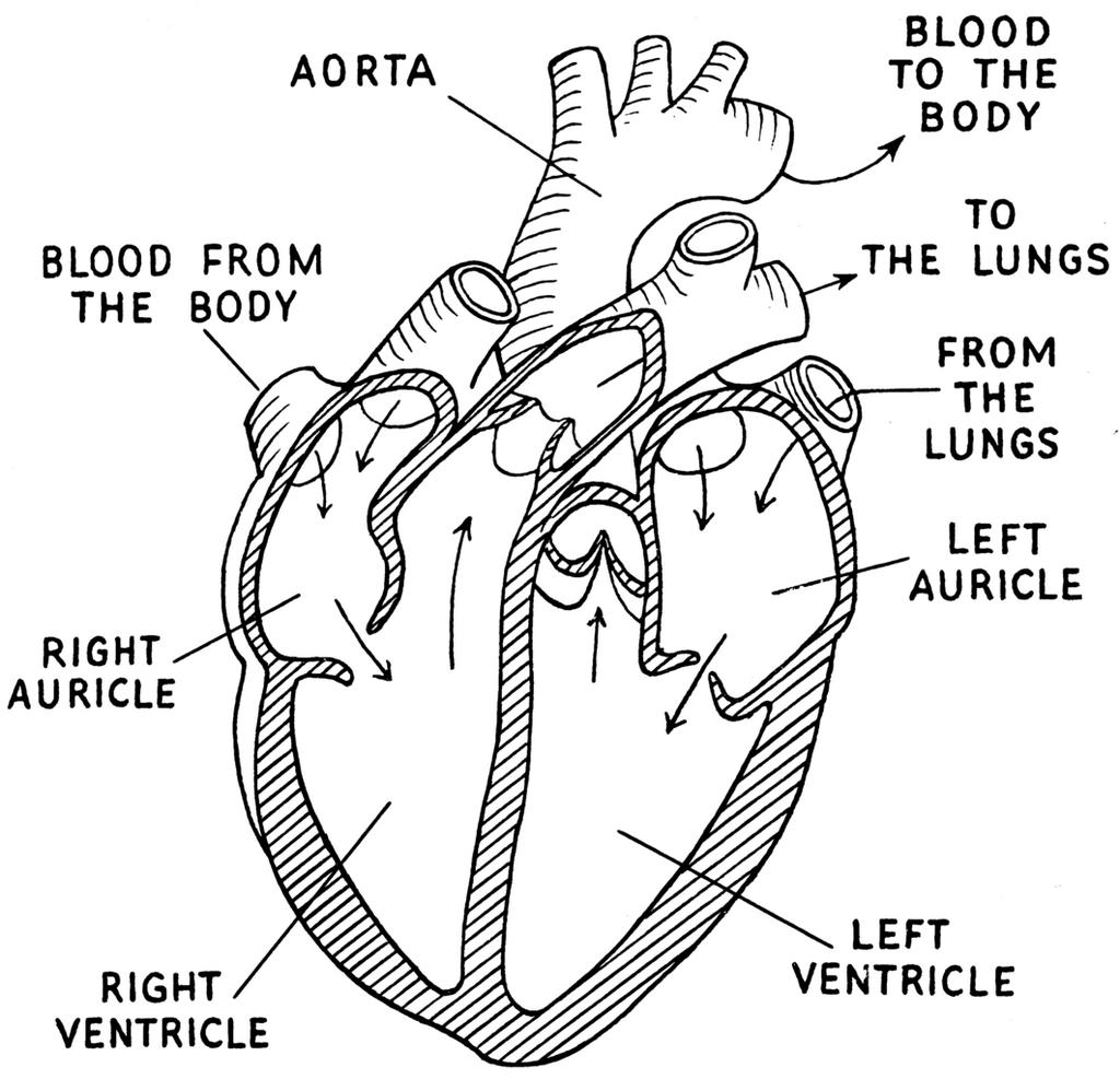 Heart Anatomy Coloring Page Printable