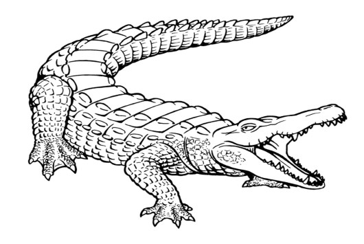 wild crocodile coloring sheets