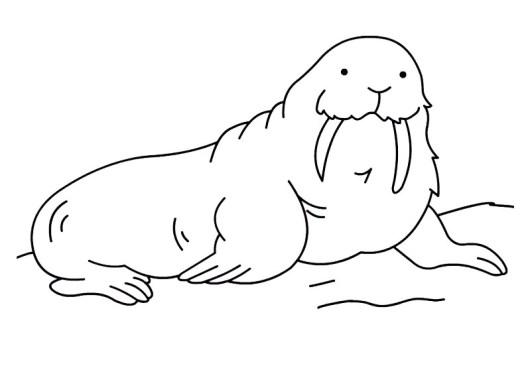 walrus marine mammals coloring