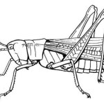 realistic grasshopper coloring picture