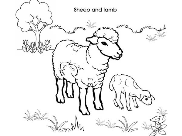 Sheep And Lamb Coloring Page Novocom Top