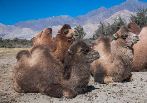 Baby Bactrian Camel at Hunder, Nubra