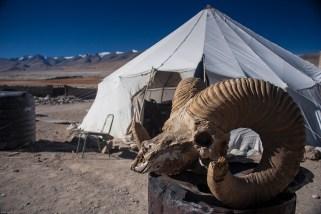A wild sheep's head, Tso Kar, Ladakh