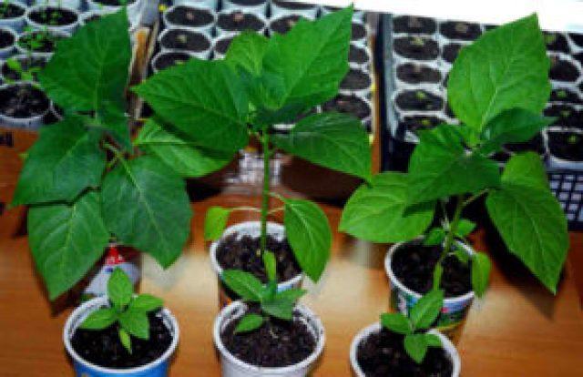 саженцы, зеленые ростки, горшки, почва