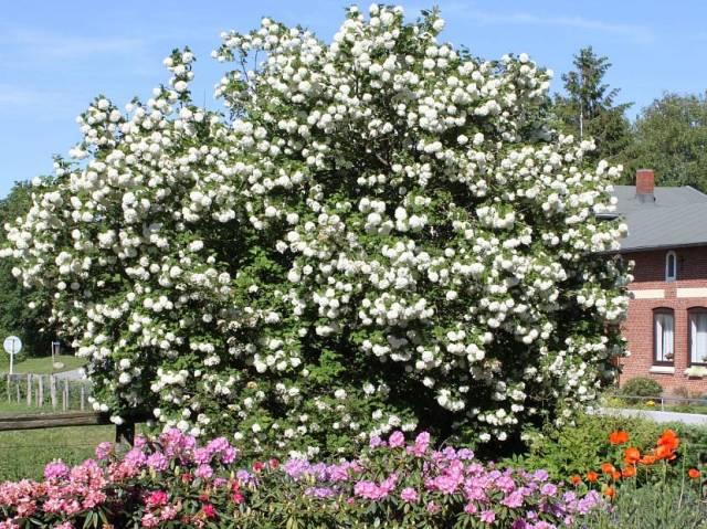 Калина в саду, ландшафт, сочетание с другими растениями