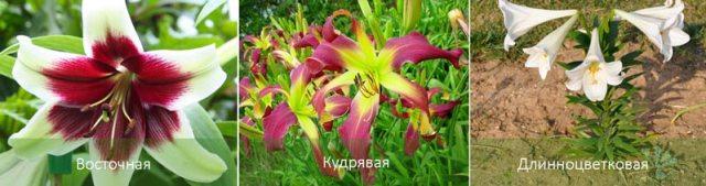 Разные виды лилий