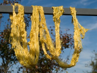 Corn Marigold / Glebionis segetum / gul okseøje