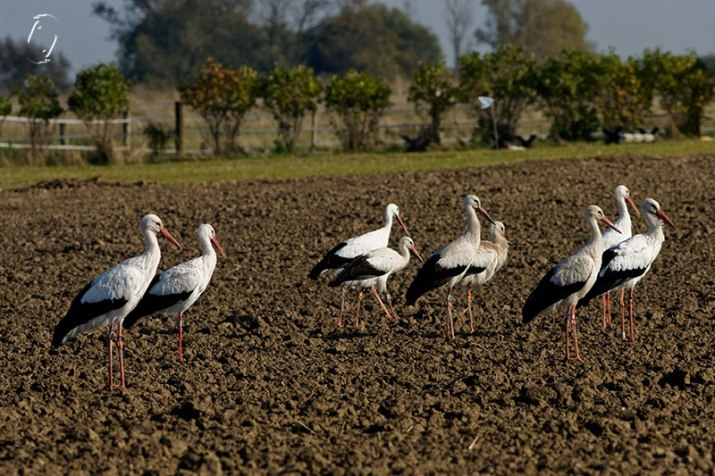 Storks on their way to?