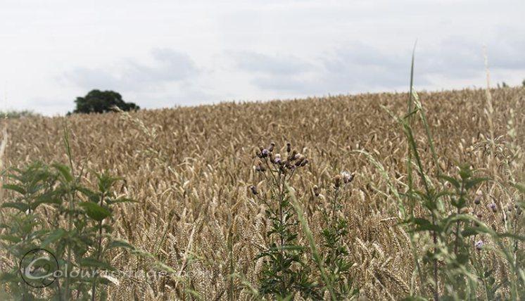 meadow16_13