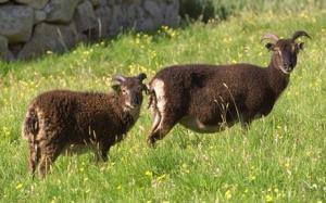 sheep_1447668c