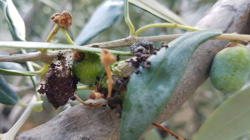 Calendario Trattamenti Olivo Puglia.S O S Margaronia Coltivare Gli Ulivi In Maniera Biologica