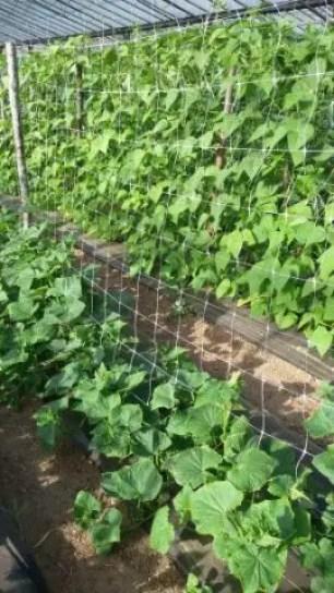 Progettare un orto-consociazione cetrioli fagiolini