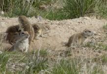 Badger Mountain Centennial Preserve prairie dog