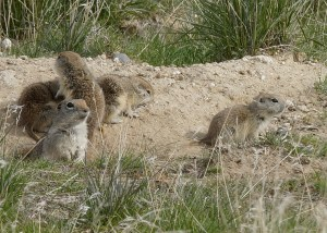Badger Mountain Centennial Preserve prairie dog