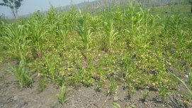Community members in the water-stressed Tukombo-Kande region use traditional intercropping practices in response to water stress. Bean and maize crops are grown together, just 300-400 meters from the Lake.