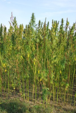 Traditional local crop: hemp