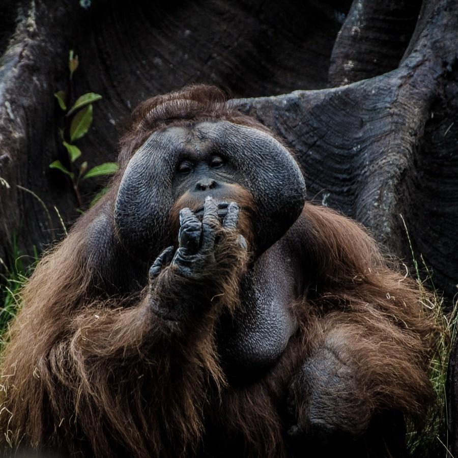 Orangutan Tour at Borneo Group in Indonesia
