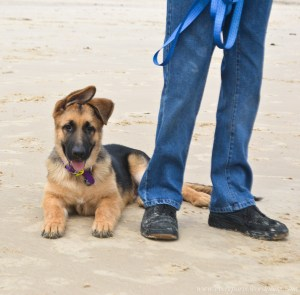Training Your German Shepherd for Therapy or Service Work