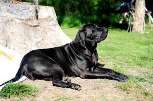 Brazilian Mastiff Dog Breed