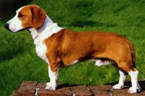 Westphalian Dachsbracke Rare Dog Breed