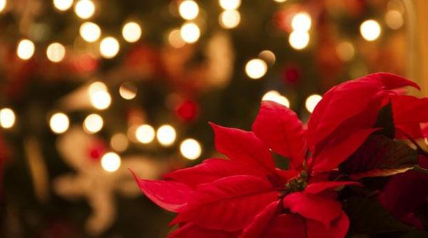 flor-de-nochebuena-620x345