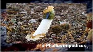 faloimpudicus