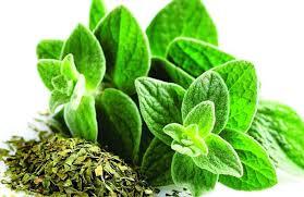 Cultivo del #orégano: Suelo, riego y consejos para un crecimiento saludable