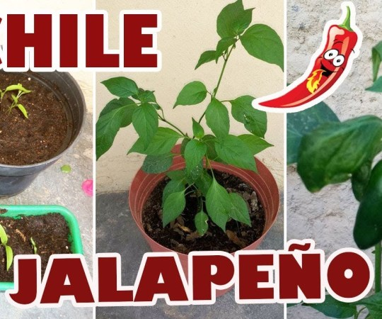 Siembra de chiles jalapeños en maceta (video)