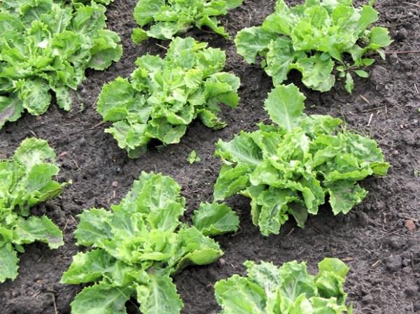 Cómo cultivar escarolas en casa. Verdura que pertenece a la familia de las Asteráceas