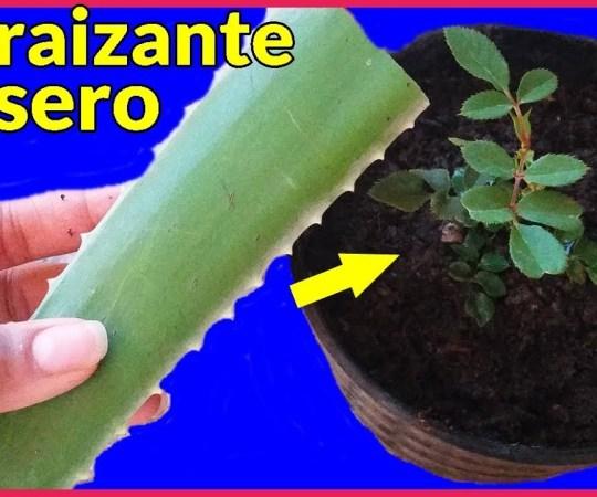 Aloe Vera o Sábila: Propiedades curativas y como enraizante casero natural