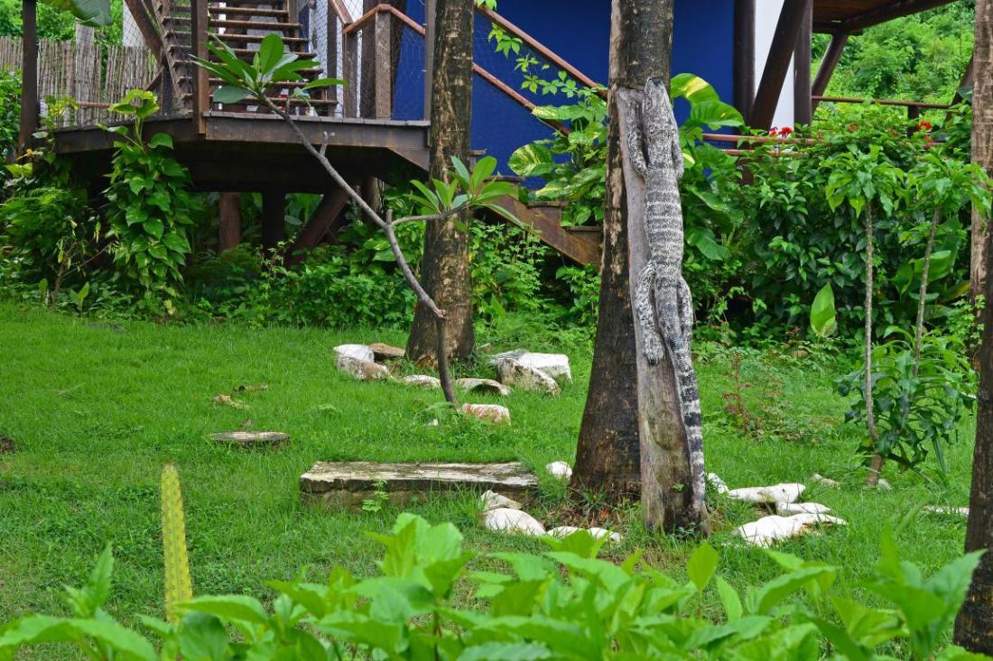 Teju-Açu-horta-fernando de noronha- comerdomirviajar.com (17)