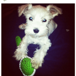 Vote for Simba in the Schnauzer of Instagram Contest!