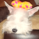 BlogPaws Blog Hop: Wordless Wednesday – Interrupting Schnauzer's Sleep